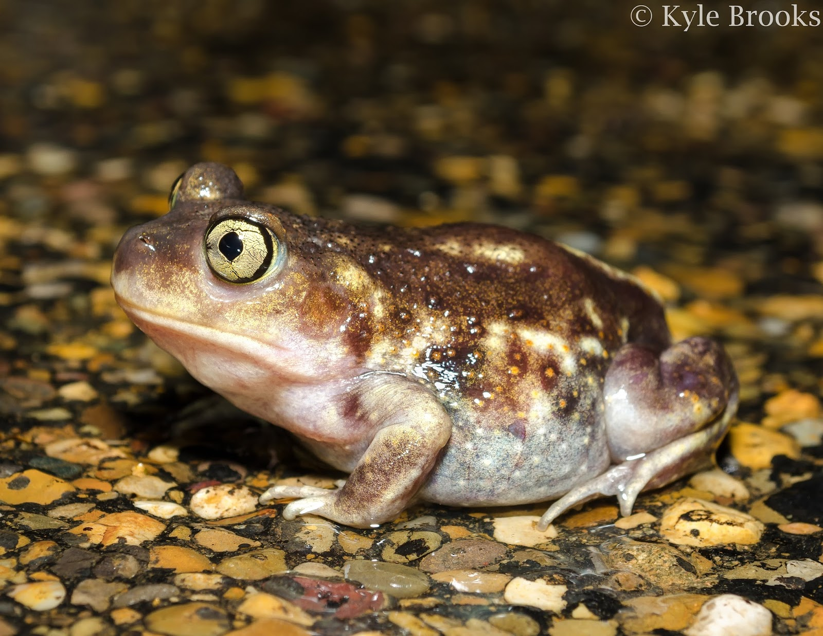 Eastern Spadefoot Ohio