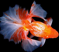 Jenis Ikan Koki Tosakin