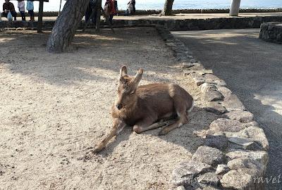 宮島上有很多梅花鹿, 他們的角 ...