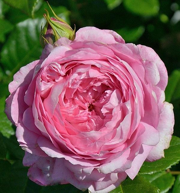 Chantal Merieux сорт розы фото купить саженцы Минск