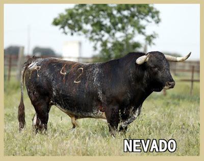 Diferentes razas de toros - Página 3 42Alamitosalinerochorreado595
