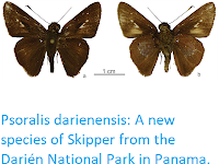 https://sciencythoughts.blogspot.com/2018/11/psoralis-darienensis-new-species-of.html