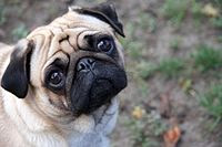 Sad pug in the world wallpaper