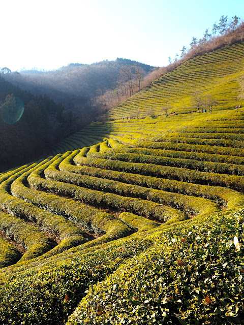 Green tea field terraces, South Korea
