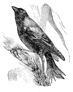 crow halloween illustration pencil drawing image clipart