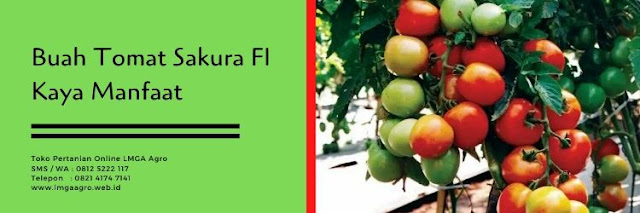 tomat sakura f1,budidaya tomat,tomat,tanaman tomat,lmga agro