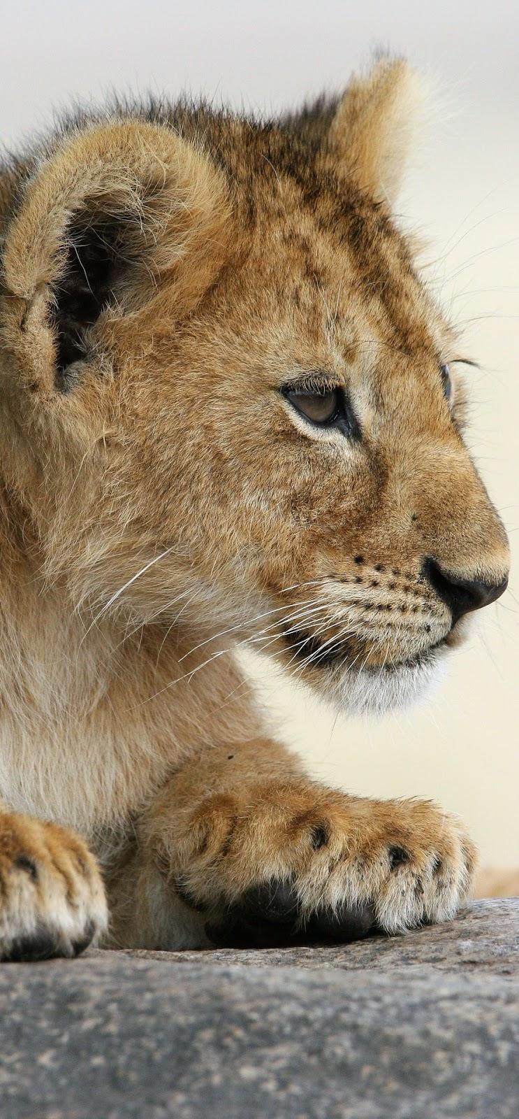 Cute lion cub.