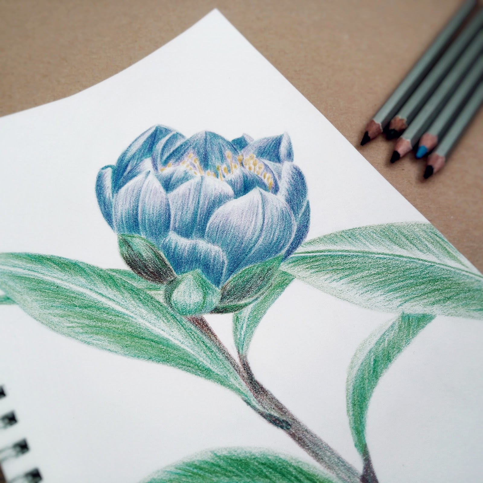 Drawing of camellia flower by Natalia Kolodiazha