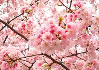 Gambar Bunga Sakura Paling cantik di Jepang 10000