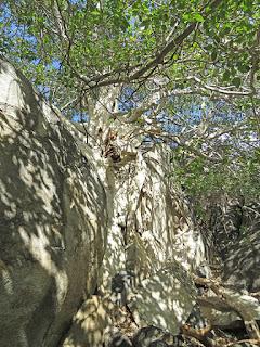 Ficus palmeri, Desert Rock Figs