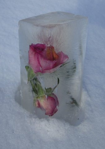 Jäätynytruusu.jpg
