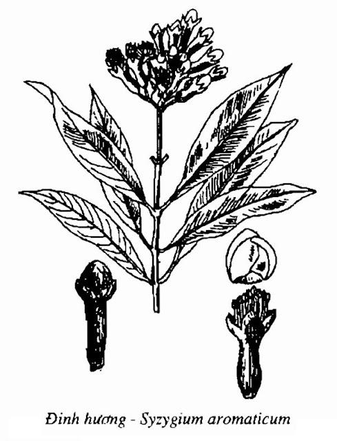 Hình vẽ Đinh hương - Syzygium aromaticum - Nguyên liệu làm thuốc Chữa Cảm Sốt