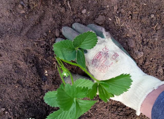 Erdbeerbeet anlegen: Die Erdbeerpflanzen in Reihen ins Beet setzen