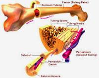 Pengertian, Jenis dan Ciri-Ciri Tulang Keras
