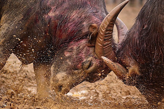 Buffalo Fighting Festival in Hai Luu, Vinh Phuc province 3