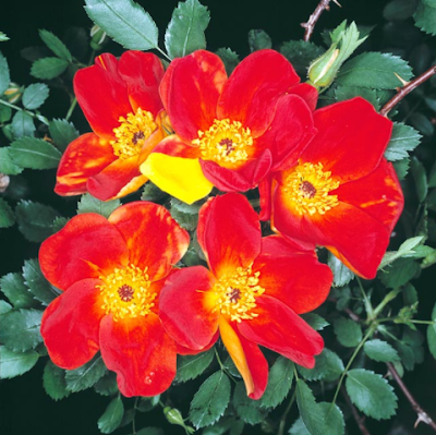 Rosa Fetida Bicolor