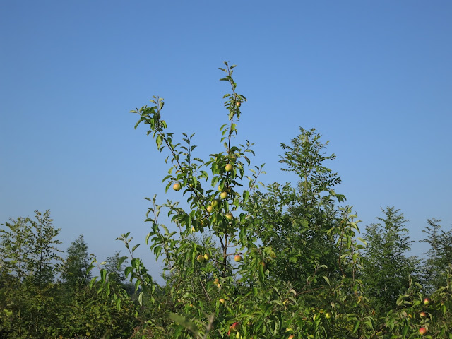 Apple tree with apples on reaches above other trees in a new-ish plantation.