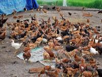 Usaha Ternak Ayam Jadi Lebih Efisien Dengan Pembatas Dari Waring Ikan