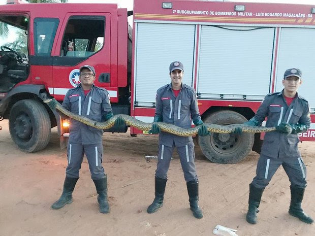 Sucuri foi encontrada dentro de empresa, em Luís Eduardo Magalhães (Foto: Corpo de Bombeiros/Divulgação)