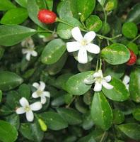 khasiat daun kemuning dan cara mengolahnya