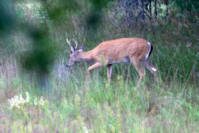 Whitetail buck in Summer velvet