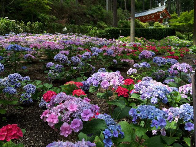 三室戸寺の紫陽花園