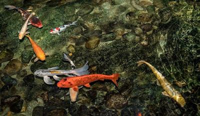 Cara Memilih Ikan Koi Yang Bagus Dan Berkualitas