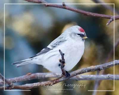 Female Hoary Redpoll. © Copyright, Shelley Banks, all rights reserved