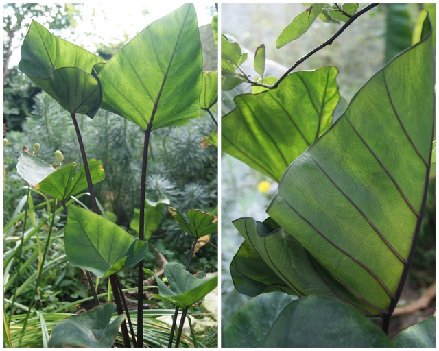 Colocasia Coffee cups
