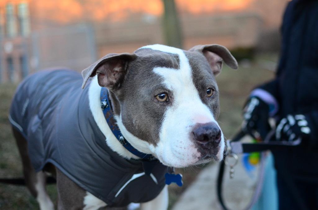 dog coats for pitbulls