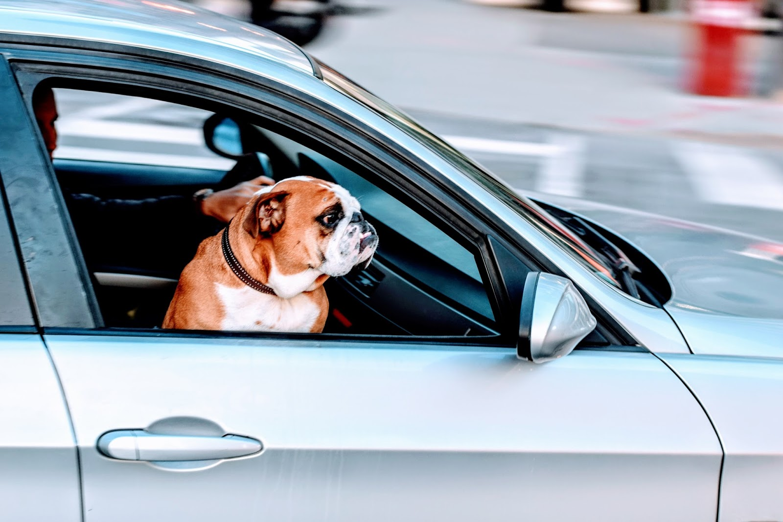 pug in the front seat of a car