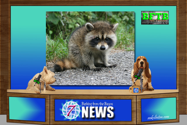 BFTB NETWoof News set with two dogs anchoring and raccoon on green screen