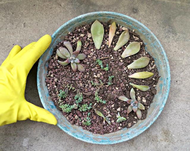 moltiplicare le piante grasse