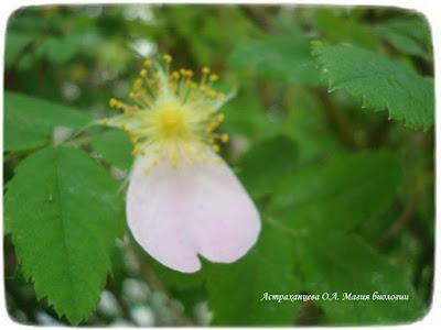 цветущий шиповник, цветок розоцветное, один