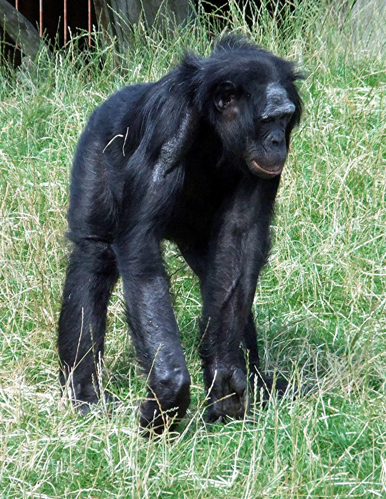 The bonobo