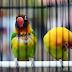 Kenapa Di Gantangan Lovebird lebih banyak di Untul ?