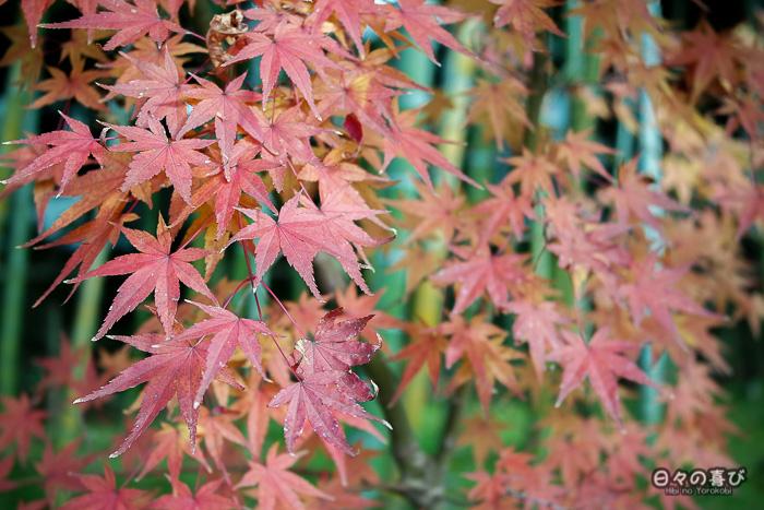 momiji, jardin Shokado de Yawata, Kyoto