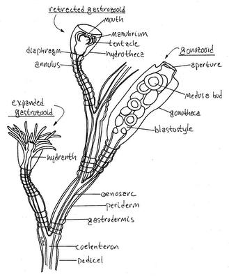 My biology: Coelenterata