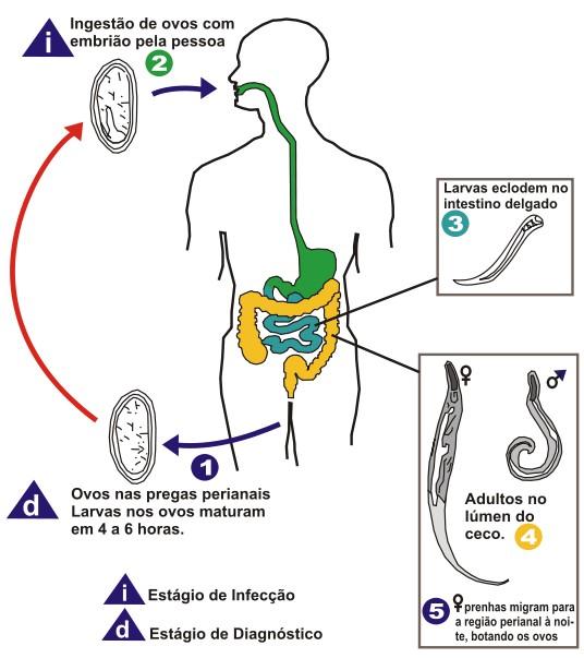 Enterobius vermicularis reproducao A bél tisztítása a parazitáktól otthon - Nők