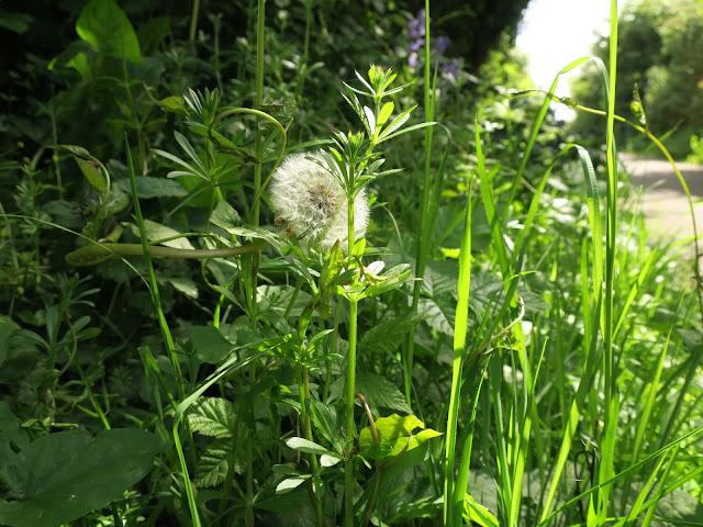 Dandelion clock beside path with goose grass, bind week, grass, bramble and bluebells
