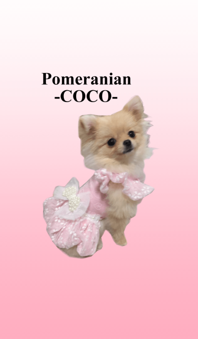 Pomeranian -COCO-