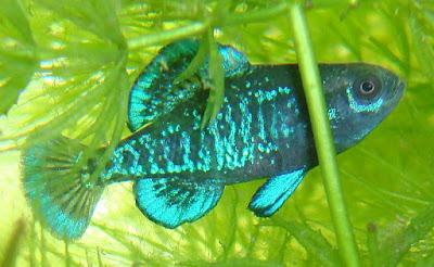 Pygmy sunfish