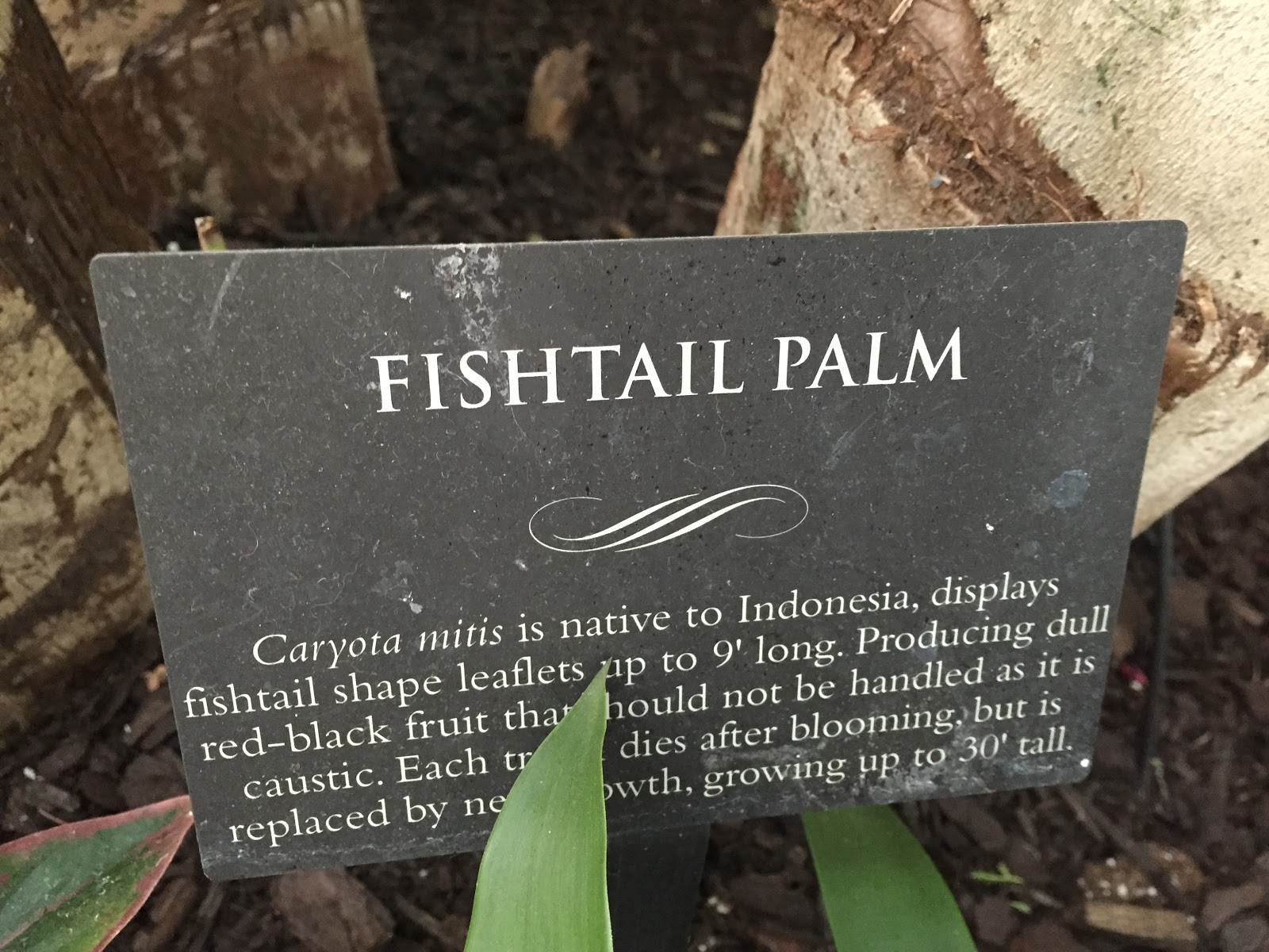 fishtail palm caryota mitis