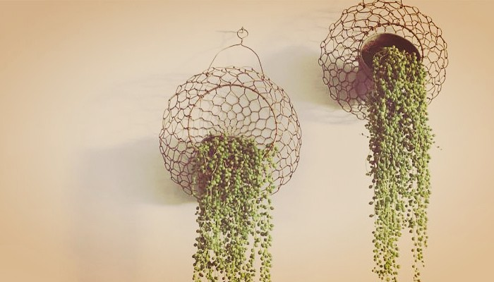 Plantas rosario