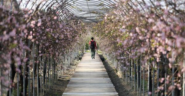 芬園花卉生產休憩園區-洲府枝垂櫻
