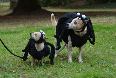 dogs wearing matching spider costumes