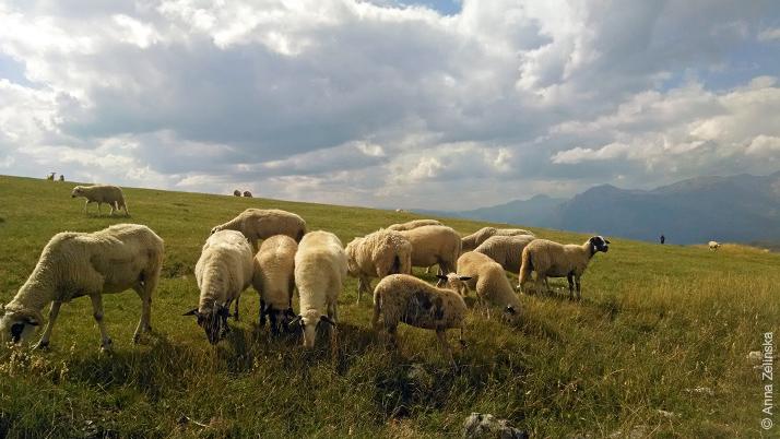 Мирные овечки на холмах Дурмитора, Черногория