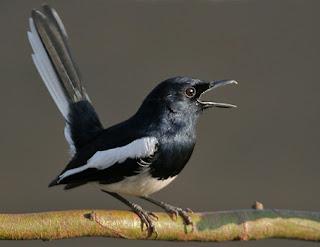 cara-merawat-burung,-Cara-Merawat-Kacer-Supaya-Gacor,-dengan-mudah-dan-gacor-terus,-Kacer,-kacer-tidak-gacor,