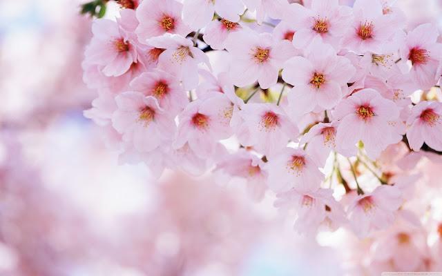 Cherry Blossom Wallpaper 5