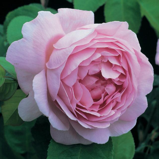 bông hoa hồng leo constnace spry